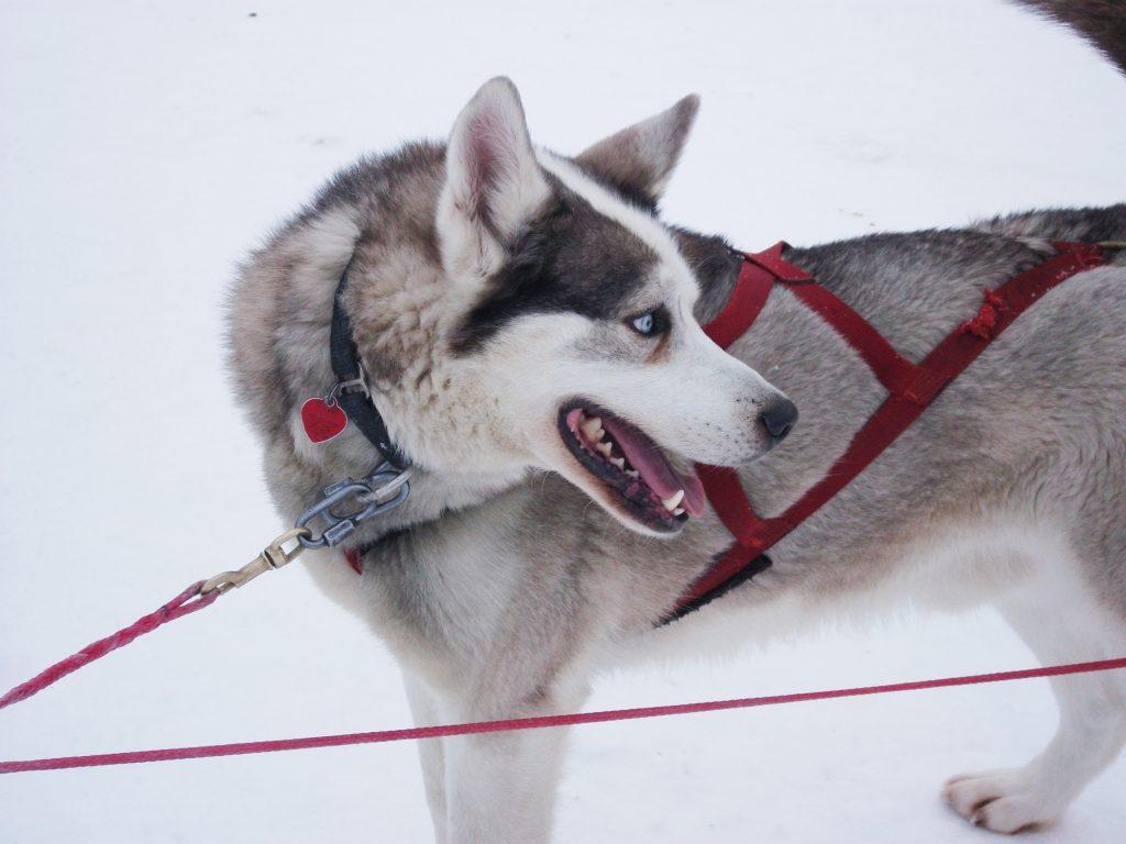 Le traineau à chiens adapté pour les personnes handicapées